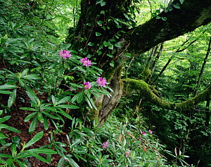 Flowering Rhododendron in old growth forest, Borjomi Kharagauli National Park, Georgia, May 2008  -  Wild Wonders of Europe / Popp