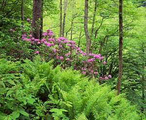 Mountain forest with flowering Rhododendron, Mtirala National Park, Georgia, May 2008  -  Wild Wonders of Europe / Popp