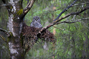 Great grey owl (Strix nebulosa) with chick in nest in boreal forest, Northern Oulu, Finland, June 2008  -  Wild Wonders of Europe / Cairns