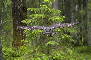 Great grey owl (Strix nebulosa) in flight in boreal forest,  Northern Oulu, Finland, June 2008  -  Wild Wonders of Europe / Cairns