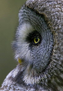 Great grey owl (Strix nebulosa) close-up of head, Northern Oulu, Finland, June 2008 UNAVAILABLE FOR COMMERCIAL USE WITHOUT PRIOR CONSENT  -  Wild Wonders of Europe / Cairns
