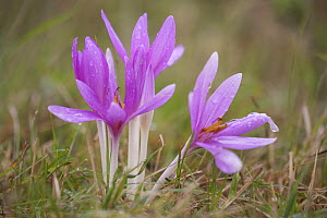 Meadow saffron crocus (Colchicum autumnale) flowers covered in water droplets, Mohacs, B�da-Karapancsa, Duna Drava NP, Hungary, September 2008  -  Wild Wonders of Europe / Möllers