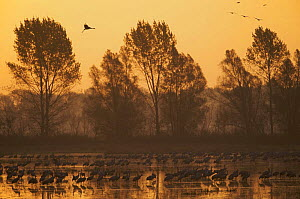 Common cranes (Grus grus) at surise in water with some flying, Brandenburg, Germany, October 2008  -  Wild Wonders of Europe / Möllers