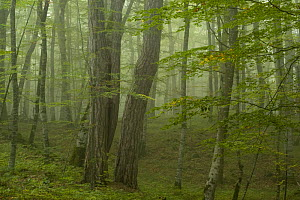 Forest with Beech trees and Black pines (Pinus nigra) in mist, Crna Poda Natural Reserve, Tara Canyon, Durmitor NP, Montenegro, October 2008  -  Wild Wonders of Europe / Radisics