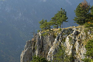 Pine trees on the edge of the Susica Canyon, Durmitor NP, Montenegro, October 2008  -  Wild Wonders of Europe / Radisics