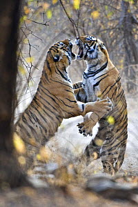 Bengal Tiger (Panthera tigris tigris) female fighting with her 18-month cub (females fight when it is time for the cubs to move on and find their own territory) Ranthambore NP, Rajasthan, India. Veoli...  -  Andy Rouse