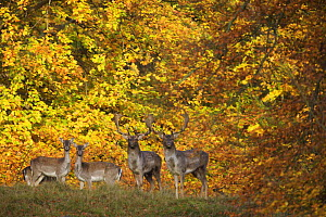 Fallow deer (Dama dama) bucks and does in front of beech trees in full autumn colour, Klampenborg Dyrehaven, Denmark, October 2008 - Wild Wonders of Europe / Möllers