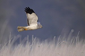 Hen harrier male (Cirus cyaneus) flying, hunting for mice, Kalmthoutse Heide Nature Reserve, Flanders. Veolia Environnement Wildlife Photographer of the Year 2009: Birds Behaviour category: Highly Com...  -  Marc Slootmaekers