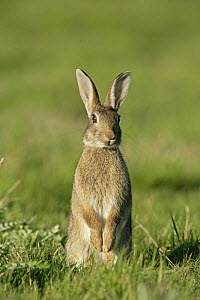 European rabbit (Oryctolagus cuniculus) sitting up in meadow on alert, Essex, UK, June  -  Alan Williams