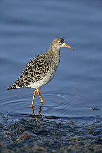 Ruff (Philomachus pugnax) male foraging along shore in winter plumage, Lancashire, UK, February - Alan Williams