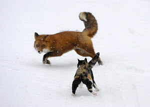 Domestic cat (Felis catus) scaring away a red fox (Vulpes vulpes), Kronotsky Nature Reserve,m Kamchatka, Russia. Veolia Environnement Wildlife Photographer of the Year 2009: Urban and Garden Wildlife...  -  Igor Shpilenok