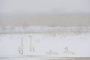 Four Whooper swans (Cygnus cygnus) in snow, Lake Tysslingen, Sweden, March 2009 - Wild Wonders of Europe / Unterthiner