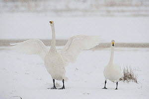 Two Whooper swans (Cygnus cygnus) one stretching wings, Lake Tysslingen, Sweden, March 2009  -  Wild Wonders of Europe / Unterthiner