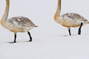 Two juvenile Whooper swans (Cygnus cygnus) walking in snow, Lake Tysslingen, Sweden, March 2009 - Wild Wonders of Europe / Unterthiner