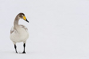Whooper swan (Cygnus cygnus) in snow, Lake Tysslingen, Sweden, March 2009  -  Wild Wonders of Europe / Unterthiner