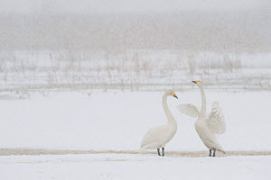 Whooper swan (Cygnus cygnus) flapping wings, Lake Tysslingen, Sweden, March 2009  -  Wild Wonders of Europe / Unterthiner