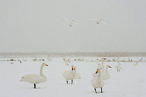 Whooper swans (Cygnus cygnus) in snow, two flying, Lake Tysslingen, Sweden, March 2009  -  Wild Wonders of Europe / Unterthiner