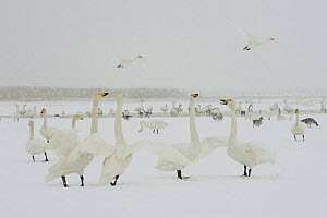 Whooper swans (Cygnus cygnus) and geese in snow, Lake Tysslingen, Sweden, March 2009 - Wild Wonders of Europe / Unterthiner