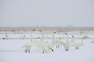 Whooper swans (Cygnus cygnus) in snow, Lake Tysslingen, Sweden, March 2009 - Wild Wonders of Europe / Unterthiner