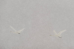 Two Whooper swans (Cygnus cygnus) flying in heavy snow, Lake Tysslingen, Sweden, March 2009 - Wild Wonders of Europe / Unterthiner