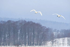 Two Whooper swans (Cygnus cygnus) in flight, Lake Tysslingen, Sweden, March 2009  -  Wild Wonders of Europe / Unterthiner