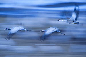 Common / Eurasian cranes (Grus grus) in flight, Lake Hornborga, Hornborgasj�n, Sweden, April 2009  -  Wild Wonders of Europe / Unterthiner
