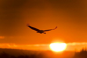 Common / Eurasian crane (Grus grus) in flight, silhouetted at sunrise, Lake Hornborga, Hornborgasj�n, Sweden, April 2009  -  Wild Wonders of Europe / Unterthiner