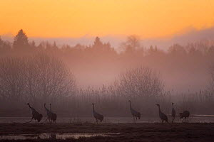 Common / Eurasian cranes (Grus grus) silhouetted at dawn in light mist, Lake Hornborga, Hornborgasj�n, Sweden, April 2009  -  Wild Wonders of Europe / Unterthiner