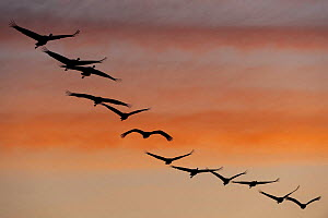 Common / Eurasian cranes (Grus grus) flying in a line, silhouetted at sunrise, Lake Hornborga, Hornborgasj�n, Sweden, April 2009  -  Wild Wonders of Europe / Unterthiner
