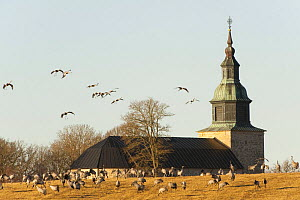 Common / Eurasian cranes (Grus grus) some feeding others coming in to land near church, Lake Hornborga, Hornborgasj�n, Sweden, April 2009  -  Wild Wonders of Europe / Unterthiner