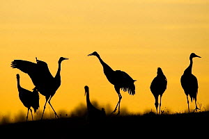 Common / Eurasian cranes (Grus grus) silhouetted at sunset, Lake Hornborga, Hornborgasj�n, Sweden, April 2009 - Wild Wonders of Europe / Unterthiner