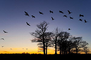 Common / Eurasian cranes (Grus grus) silhouetted in flight over trees at sunset, Lake Hornborga, Hornborgasj�n, Sweden, April 2009  -  Wild Wonders of Europe / Unterthiner
