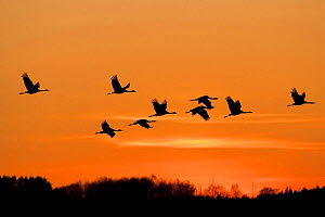 Common / Eurasian cranes (Grus grus) in flight silhouetted at sunset, Lake Hornborga, Hornborgasj�n, Sweden, April 2009  -  Wild Wonders of Europe / Unterthiner
