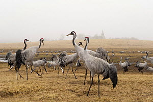 Common / Eurasian cranes (Grus grus) Lake Hornborga, Hornborgasj�n, Sweden, April 2009  -  Wild Wonders of Europe / Unterthiner
