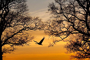Common / Eurasian crane (Grus grus) in flight, silhouetted at sunset, Lake Hornborga, Hornborgasj�n, Sweden, April 2009 WWE OUTDOOR EXHIBITION - Wild Wonders of Europe / Unterthiner