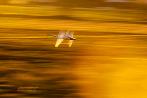 Whooper swan (Cygnus cygnus) in flight at sunset, Lake Tysslingen, Sweden, March 2009 - Wild Wonders of Europe / Unterthiner