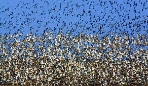 Large flock of waders in flight, Japsand, Germany, April 2009  -  Wild Wonders of Europe / Novák