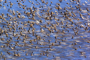 Flock of waders in flight, Japsand, Schleswig-Holstein Wadden Sea National Park, Germany, April 2009  -  Wild Wonders of Europe / Novák