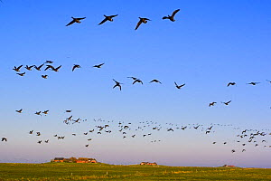 Brent geese (Branta bernicla) in flight, Hallig Hooge, Germany, April 2009  -  Wild Wonders of Europe / Novák
