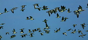 Barnacle goose (Branta leucopsis) flock in flight, Westerhever, Germany, April 2009  -  Wild Wonders of Europe / Novák