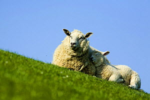 Sheep with lamb, Westerhever, Germany, April 2009  -  Wild Wonders of Europe / Novák