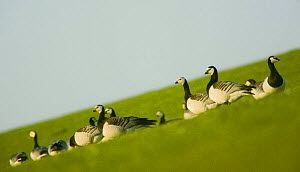 Barnacle geese (Branta leucopsis) in field, Westerhever, Germany, April 2009  -  Wild Wonders of Europe / Novák