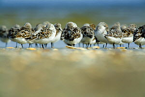 Sanderling (Calidris alba) flock roosting, B�hl, Germany, April 2009  -  Wild Wonders of Europe / Novák