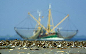 Dunlin (Calidris alpina) flock on beach, with large fishing boat behind, B�hl, Germany, April 2009  -  Wild Wonders of Europe / Novák