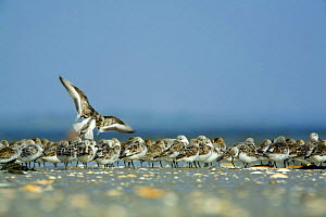 Sanderling (Calidris alba) flock on beach, B�hl, Germany, April 2009  -  Wild Wonders of Europe / Novák