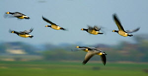 Barnacle geese (Branta leucopsis) in flight, Westerhever, Germany, April 2009  -  Wild Wonders of Europe / Novák