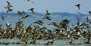 Waders landing in sea, Sylt, Germany, April 2009  -  Wild Wonders of Europe / Novák