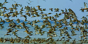 Bar-tailed godwit (Limosa lapponica) flock landing in sea, Sylt, Germany, April 2009  -  Wild Wonders of Europe / Novák