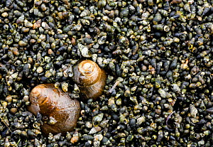 Snails, food for waders, Grossmorsum, Sylt, Germany, April 2009  -  Wild Wonders of Europe / Novák