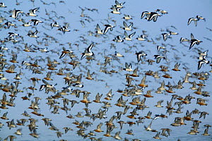 Dunlin (Calidris alpina) Knot (Calidris canutus) and Oystercatchers (Haematopus ostralegus) in flight, Grossmorsum, Sylt, Germany, April 2009  -  Wild Wonders of Europe / Novák